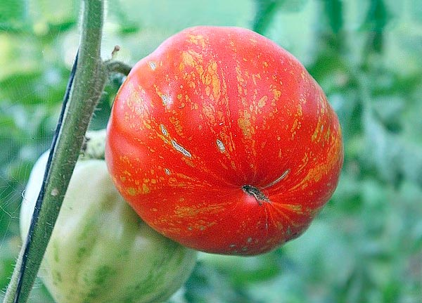 Marmande de Montpellier comes from crossing Marmande Garnier, wrom which come the taste and the firmpulp, and Feuerwerk from which come the attracting tigre look. Can reach 800 g © Le Tomatologue