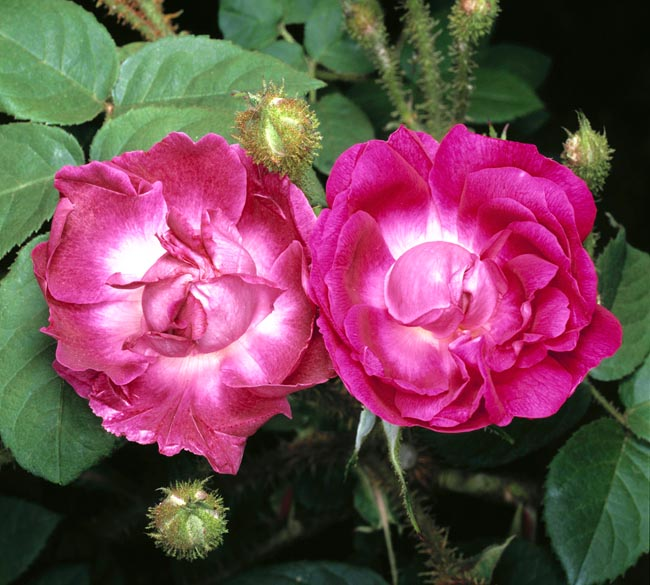 rosa_william_lobb.jpg
