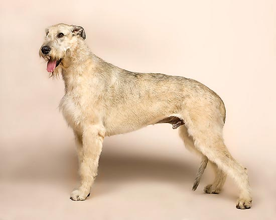 The Irish Wolfhound is one of the tallest dogs, once used against the wolves © Mazza