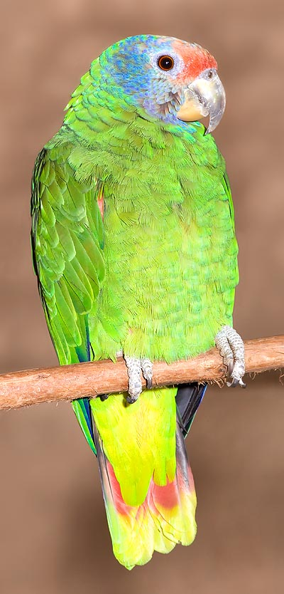 The Amazona bresiliensis is very rare © Giuseppe Mazza