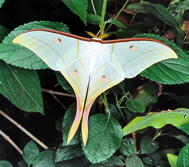 Actias selene is an Asian night dusk butterfly, Sought for but not endangered © Giuseppe Mazza