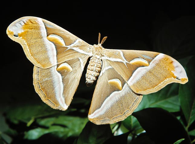 The Samia cynthia is akin to the silkworm and makes a less elegant but stronger thread © Giuseppe Mazza