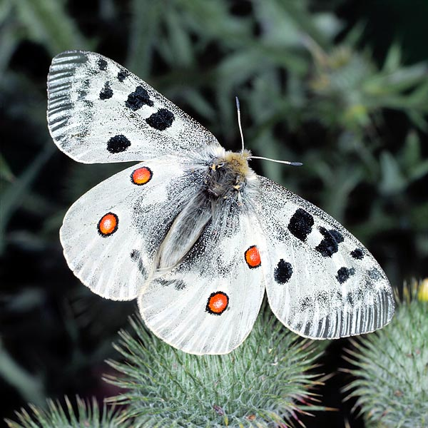 Parnassius apollo is a Glacial Age relic who refuged on the high mountains © Giuseppe Mazza