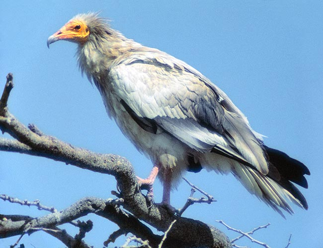 Neophron percnopterus, Accipitridae, Egyptian vulture