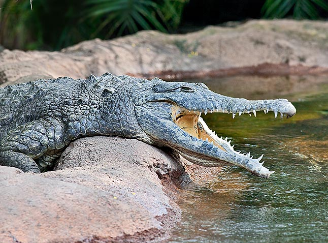 With only 250-1500 specimens the Crocodylus intermedius is one of the rarest crocodiles in the world © G. Mazza
