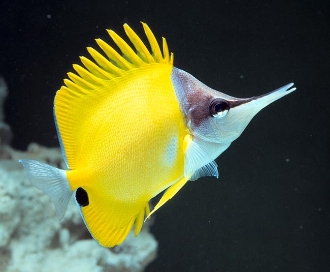 Forcipiger flavissimus is the butterfly fish with the vastest distribution © Giuseppe Mazza