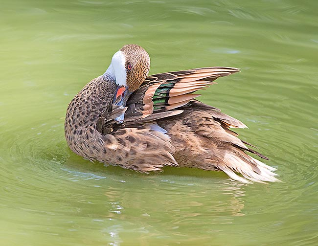 It reproduces when water level is ideal. The female hatches 5-12 eggs for 25 days, but then the ducklings are cared by the male too and often gathered in