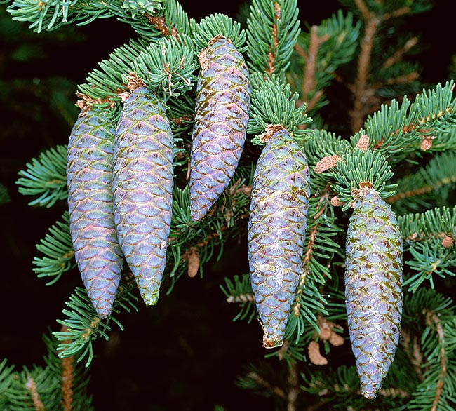 Picea abies, Pinaceae, Norway spruce