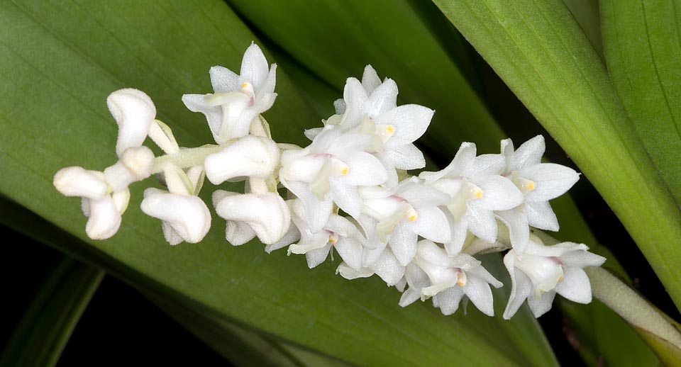 Bryobium hyacinthoides is a Borneo, Java, Lesser Sunda Islands, Malaysia and Sumatra small epiphyte, with 15-20 cm inflorescences recalling the hyacinth © G. Mazza