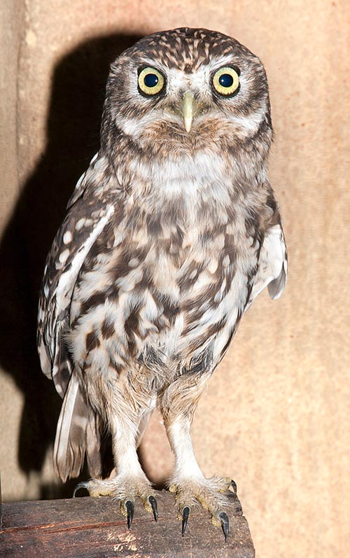 20 cm tall, weighing less than 200 g and wingspan little more than 50 cm, the Owl (Athene noctua) made its way in the man imagination © Giuseppe Mazza