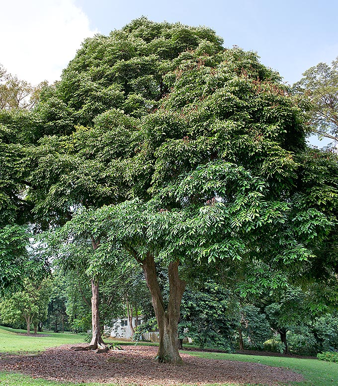 Callerya atropurpurea is a South-East Asian tree reaching 15 m of height with compact foliage © Giuseppe Mazza