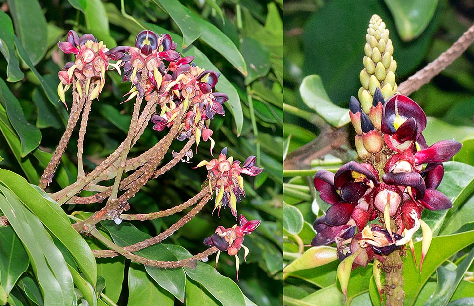Often shades tropical gardens and roads. Compact 10-12 cm terminal panicles with numerous about 2 cm bisexual flowers. Seed and roots are poisonous © G. Mazza