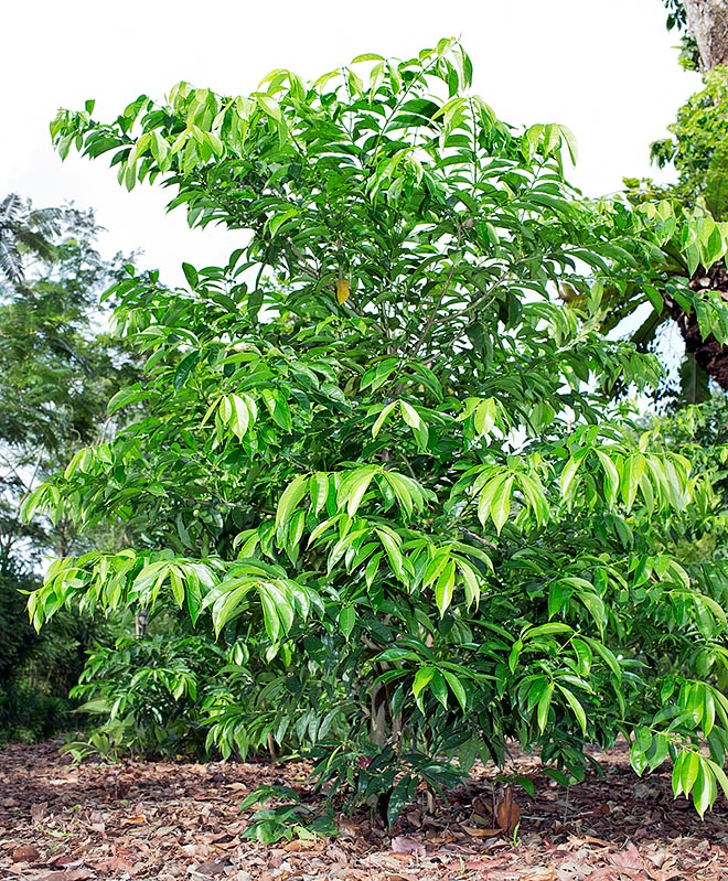 Phaleria macrocarpa is a New Guinea evergreen that may be 18 m tall © Giuseppe Mazza