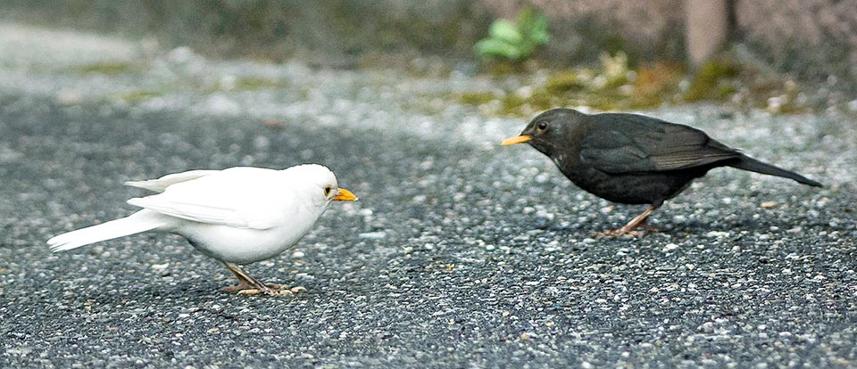 Usually two males so closed will slaughter themselves for territorial infraction but the black mistakes it for another species and the white may be does not realize to be a blackbird © Gianfranco Colombo