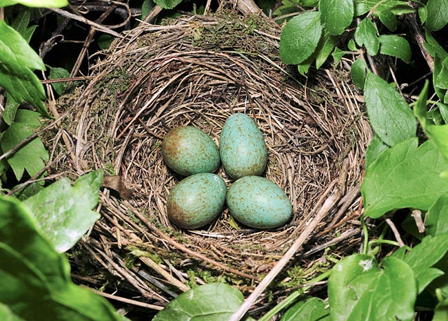 Usual nest is built on a dried up mud base mixed with smaller and smaller sticks, thin roots, musk and <br />various linings. It may content even five bluish eggs spotted with red blotches © Gianfranco Colombo