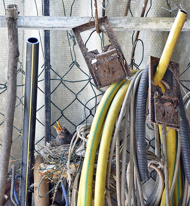 A nest hidden among tools shed. History of this bird a time wild, is always more tied to human being © G. Colombo