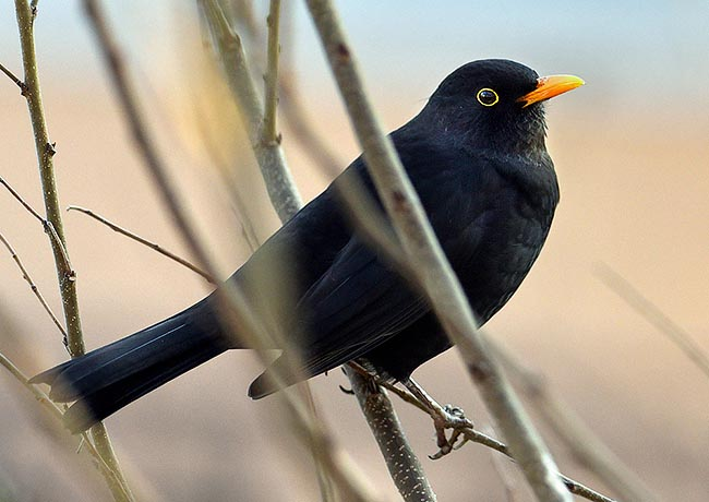 A male blackbird, boldy and territorial limits with its song, from sunrise to sunset, the invisible borders of its reign. Common in Europe, part of Asia and Australia where it has been introduced recently by man © Gianfranco Colombo