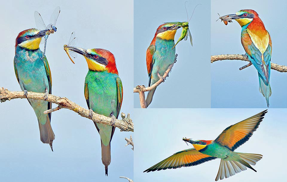 In fact European bee-eaters hunt any insect: bees, hornets and wasps are not scary, nor escape rapid blowflies, armoured coleopterans and elusive dragonflies © Gianfranco Colombo