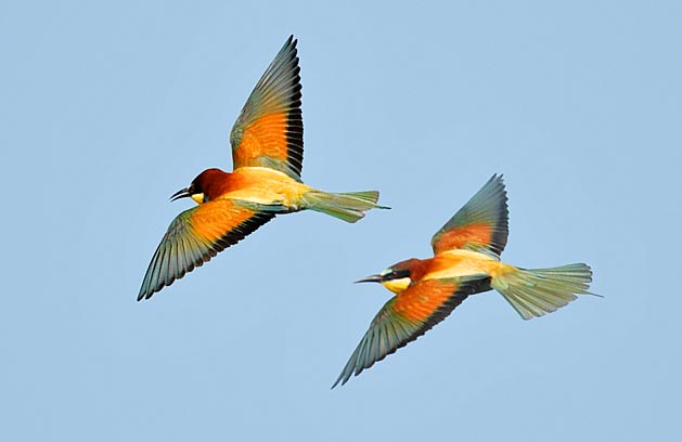 The European bee-eaters can be 30 cm long, with 70 g of weight and 40 cm of wingspan. The populations living stably in Europe and most of the western Centre Asia, have their winter quarters in the sub-Saharan Africa whilst some central Asian stocks spend the winter in the Indian subcontinent © Gianfranco Colombo
