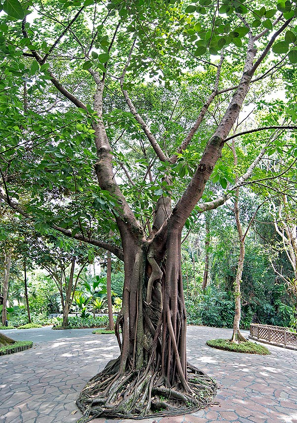 Native to south-eastern Asia, the Ficus superba can be 30 m tall. The buds and the young leaves are locally consumed as vegetables. Species particularly suitable for bonsai © Giuseppe Mazza