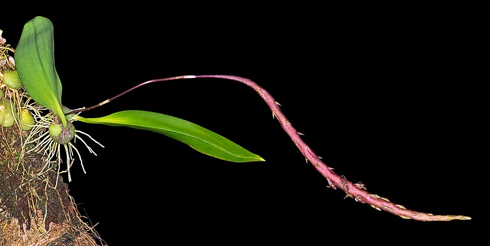 Small epiphyte of Philippines and Sulawesi humid forests, Bulbophyllum echinochilum has subglobose pseudobulbs, depressed, less than 2 cm, with a unique 8-10 cm leaf. The inflorescence, coming at the base of the pseudobulb, reaches 20 cm, with 8 cm fusiform rachis, purple dotted of white, and tiny spaced flowers © Giuseppe Mazza