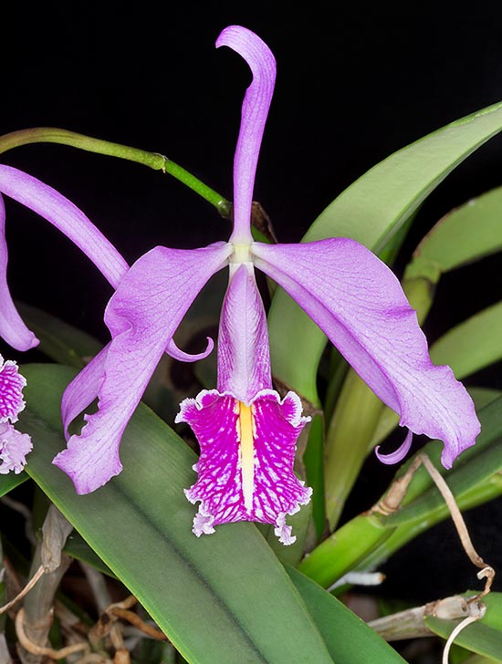 Native to Colombia, Ecuador, Peru and Venezuela, the Cattleya maxima is an epiphyte, rarely lithophyte, cespitose with creeping rhizome from which come, at each vegetative season, one or two pseudobulbs. Perfumed flowers, even 14 cm broad that have originated many hybrids © Giuseppe Mazza