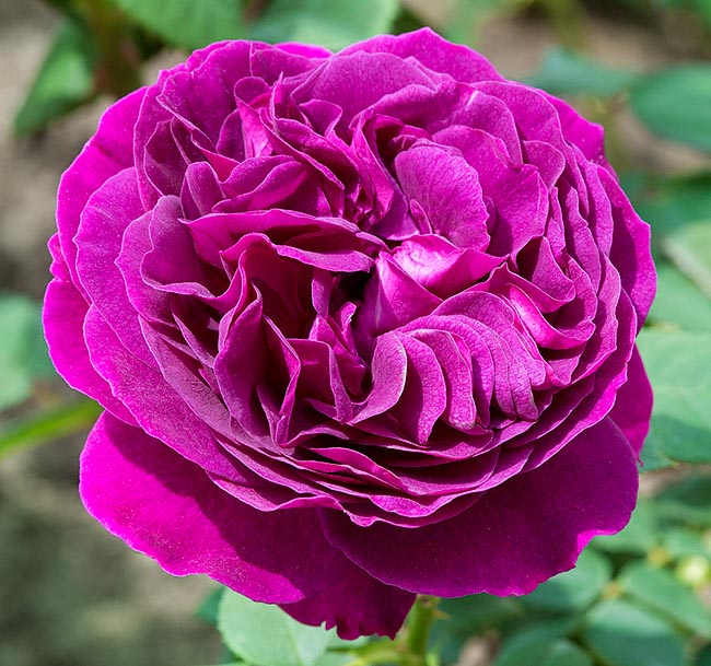 rosa_purple_lodge.jpg