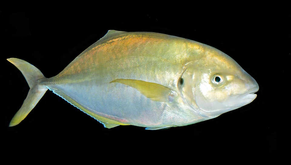 Present in all oceans tropical and subtropical waters Pseudocaranx dentex is a seriously endangered species © Giuseppe Mazza