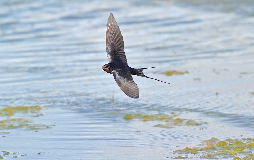 Swallow is a pure insectivore that eats all aerial insects it smartly seizes in flight with vicissitudes and incredible nimbleness © Gianfranco Colombo