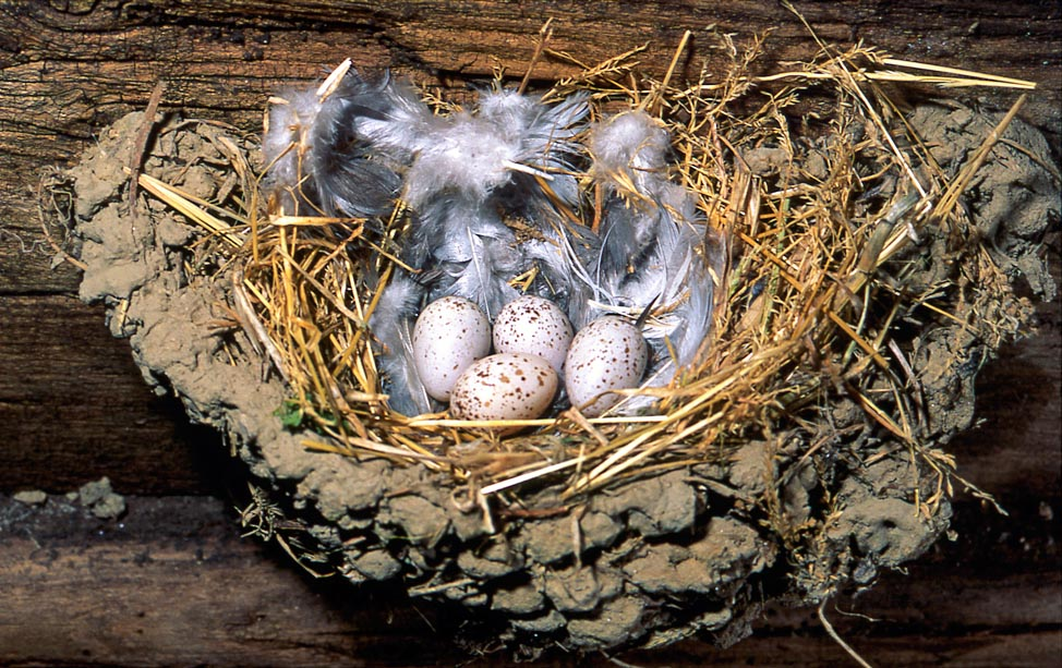 The inside, coated by feathers and specks, usually contains 3-6 eggs brooded only by the female for 16-18 days © Museo Lentate sul Seveso
