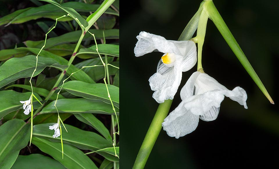 The Indianthus virgatus is native to the swamps of South India, Andaman Islands and Sri Lanka. Leaves and rhizomes are locally utilized for various pathologies © G. Mazza