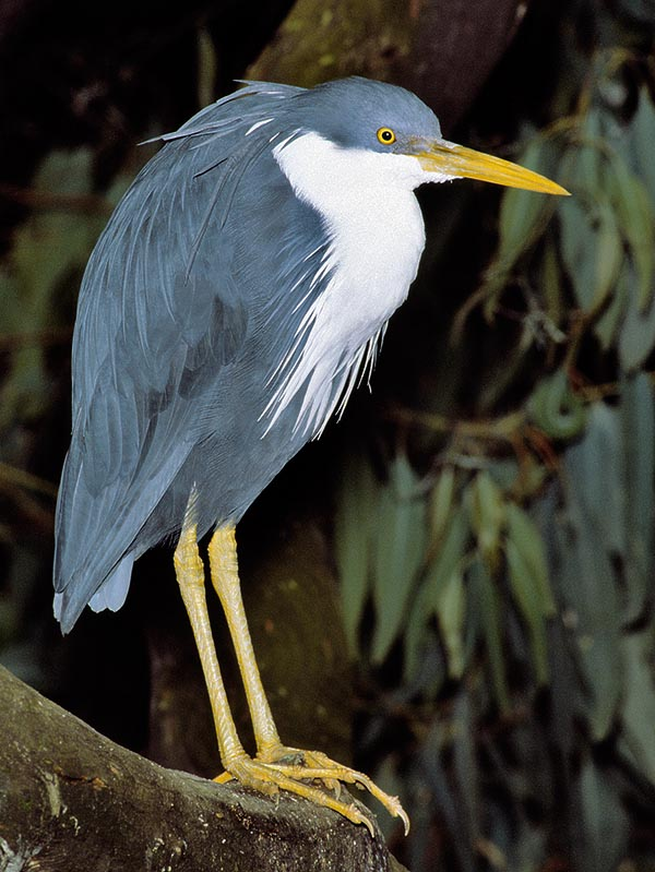 Egretta picata lives between North Australia and New Guinea. Colonies in the Aru and Sulawesi islands © Giuseppe Mazza