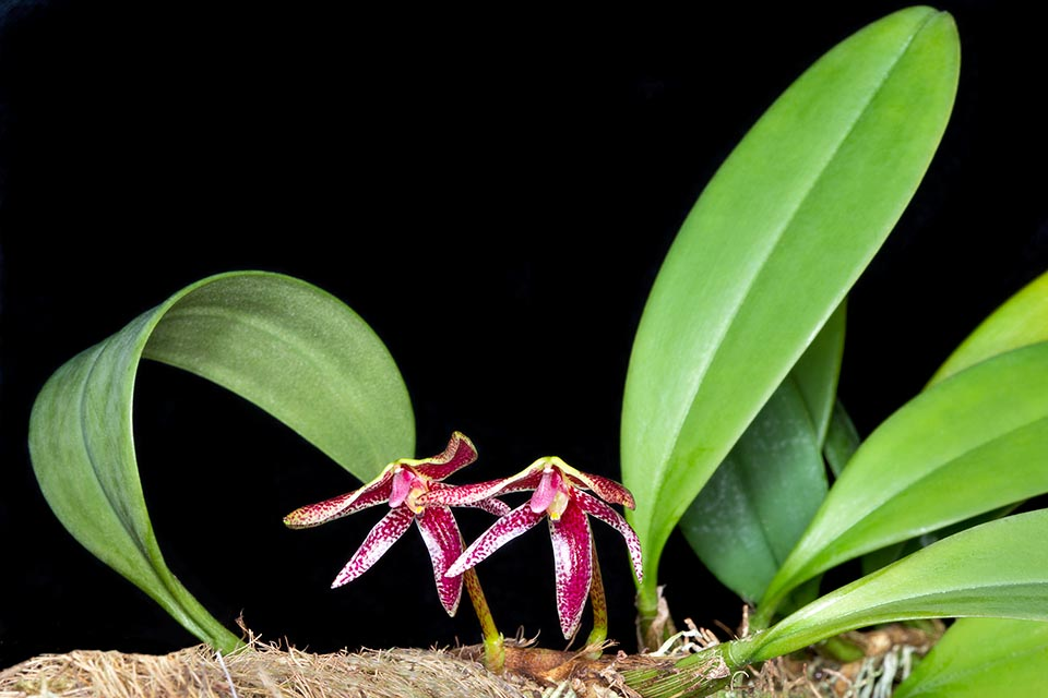 Epiphyte of the swampy forests of South-East Asia, the Bulbophyllum patens has ellipsoidal pseudobulbs with only one leaf carried by a strong rhizome rooting at nodes © Giuseppe Mazza